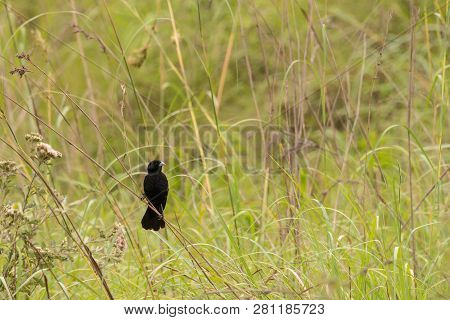 A fan tailed widowbird resting on grass in Kwa-zulu Natal, South Africa. poster