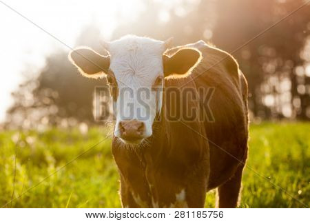 Brown  cow in the field looking at you.