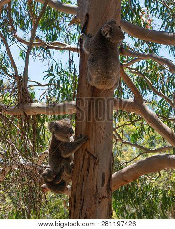 Wild Koala Family With The Male Female And Baby Koalas On An Eucalyptus Tree On Kangaroo Island In S