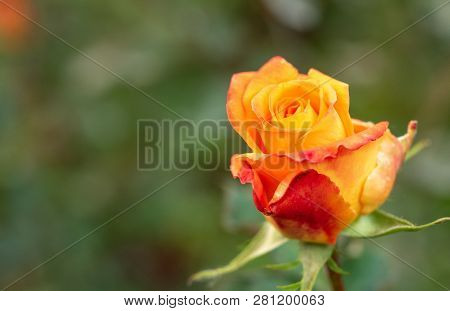 Yellow-red Rose Flowering In Rosary, Close Up View. Floral Background. Single Rose Blooming. Yellow