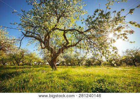 Captivating ornamental garden with blooming lush trees on a sunny day. Seasonal background. Flowering orchard in spring time. Scenic image of trees in fantastic garden. Beauty of earth, Ukraine.