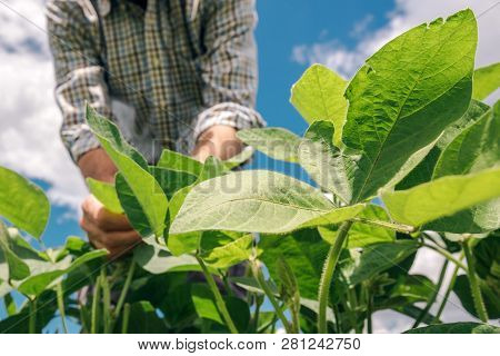 Farm Worker Controls Development Of Soybean Plants. Agronomist Checking Soya Bean Crops Growing In T