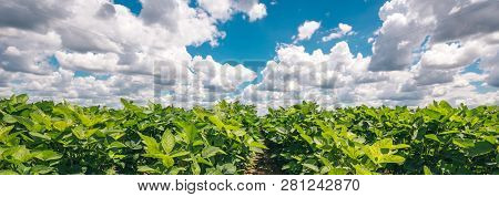 Panoramic View Of Organic Soybean Crop Growing In The Field With Beautiful Summer Sky In Background