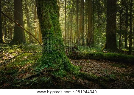 Green Forest Nature. Ancient Green Forest. Nature. Pine Forest. Natural Environment. Forest Nature.