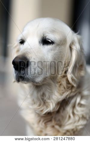 Old golden retriever pedigree dog looking against natural background poster