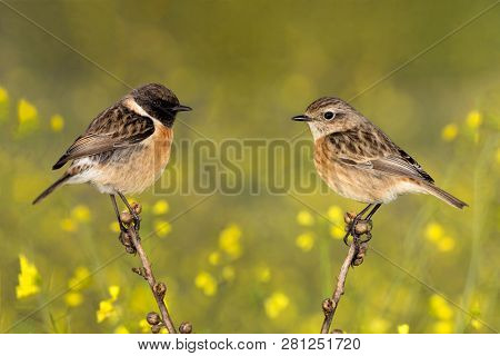 Couple of stonechats in the nature with yellow flowers of background