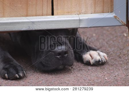 Dog Sniffing Under Wooden Gate, Black Dog Trying To Crawl Under Fence, Black Staffy Pet Trying To Lo