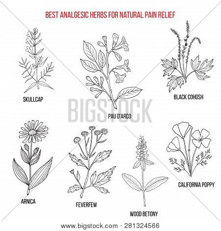 Best Analgesic Natural Herbs For Pain Relief. Hand Drawn Vector Set Of Medicinal Plants