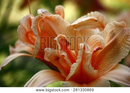 Difficult On A Structure The Flower Of A Day Lily Of Salmon Color Has Revealed On A Green Background