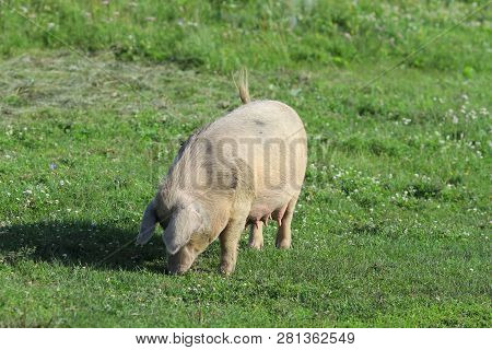 A Large White Pig Grazes On A Green Field.