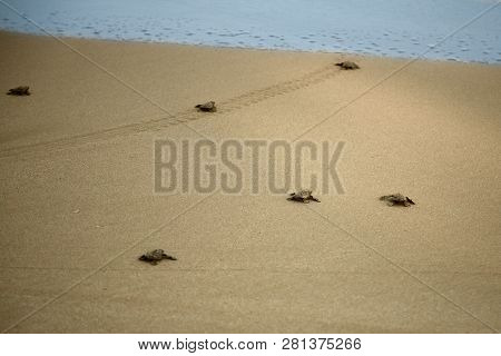 Loggerhead Sea Turtle Emergence: The Turtles Emerge In A Group And Proceed To Crawl Down The Beach T