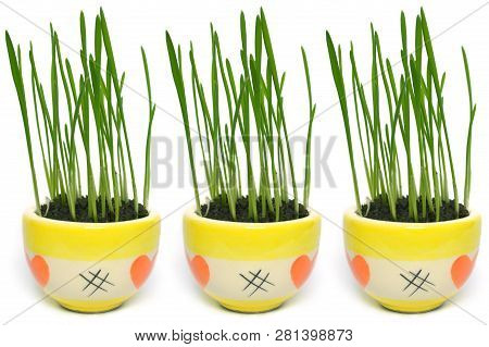 Young Wheatgrass Plant In Ceramic Pot On White Background
