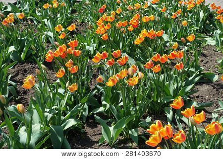 Vibrant bicolor tulips with red and yellow petals poster