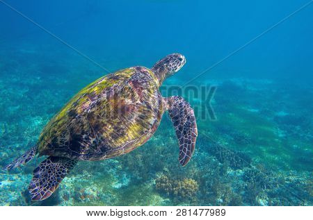 Sea Turtle In Blue Water. Exotic Marine Turtle Underwater Photo. Oceanic Animal In Wild Nature. Summ