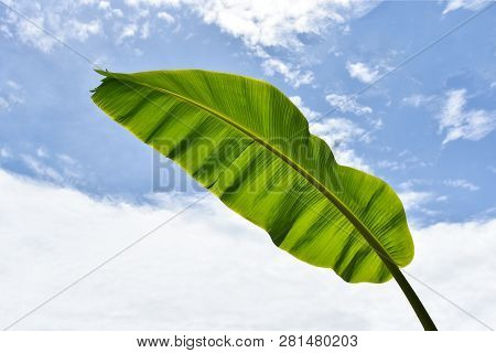Banana Leaf Background / Green Tropical Plant Nature With Fresh Banana Leaves On Cloud Blue Sky On B