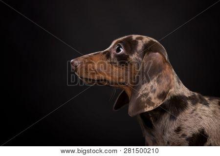 dachshund puppy daple brown tan color