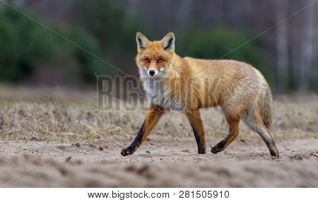 Nice Red Fox In Winter Fur Runs Through Field Road While Looking At The Camera