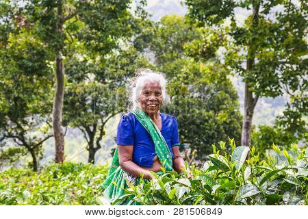 ELLA, SRI LANKA - DEC 30, 2016: Old age female tea-picker picks up the fresh tea leaves in Ella town on Dec 30, 2016, Uva Province, Sri Lanka
