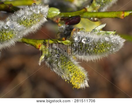 Early spring flowering male catkins (pussy willow, grey willow, goat willow). Branches with Expanded buds for Easter decoration. Close-up of Willow twig as a spring symbol, outdoor poster