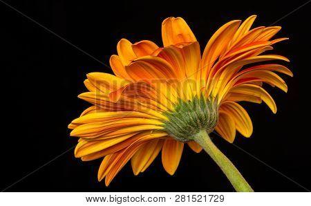 Orange Transvaal Daisy On A Black Background