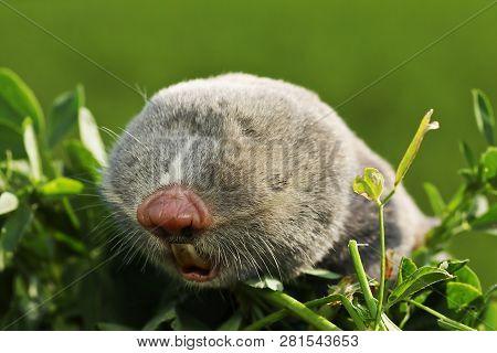 Portrait Of A Lesser Mole Rat ( Spalax Leucodon )