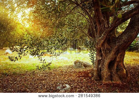 Mediterranean Olive Field. Olive Tree In Orchard. Olive Harvest
