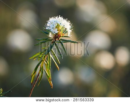 Closeup Of Marsh Labrador Tea, Rhododendron Tomentosum Plant In  The Autumn Sunlight. Selective Focu