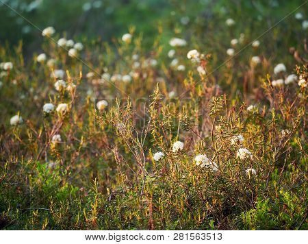 Marsh Labrador Tea, Rhododendron Tomentosum Plant In The Autumn Sunlight. Selective Focus, Blurred B