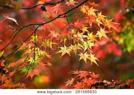 Colorful japanese maple (Acer palmatum) leaves during momiji season at Kinkakuji garden, Kyoto, Japan