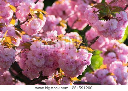 Sakura Blossom. Beautiful Natural Background. Tender Pink Flowers On The Branch. Wonderful Sunny Day