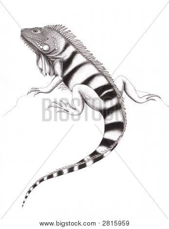 Green Iguana Drawing