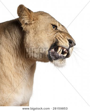 Lioness, Panthera leo, 3 years old, snarling in front of white background
