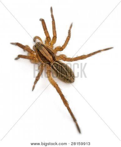 Spider, Pirata piraticus, in front of white background