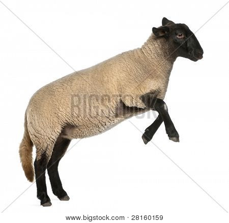 Female Suffolk sheep, Ovis aries, 2 years old, jumping in front of white background