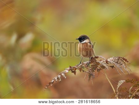 European Stonechat Perching On A Fern Branch Against Colorful Background In Natural Surrounding, Uk.