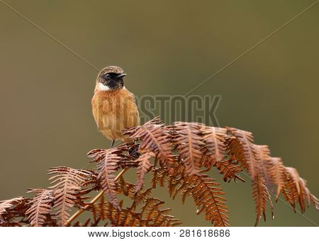 Close Up Of European Stonechat Perching On A Fern Branch Against Green Background In Natural Surroun
