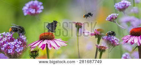 Panoramic View - The Garden With Echinacea Flowers And Butterfly And Bumblebees