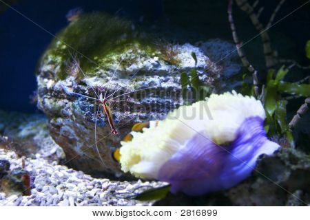 Pacific Striped Cleaner Shrimp Underwater