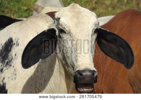 Close-up White Ox Grazing On Green Field In Farm Area. Agricultural Production Of Bovine Animals