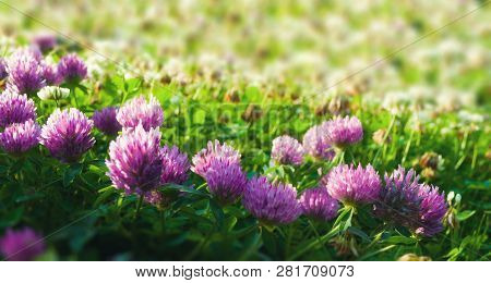 Spring meadow landscape. Pink flowers of spring clover lit by warm sunlight - spring sunset landscape. Selective focus at the clover flowers