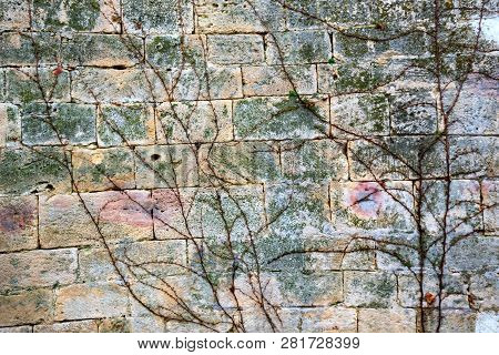 Vine Background. Old Wall Covered With Leafless Vine In Early Spring