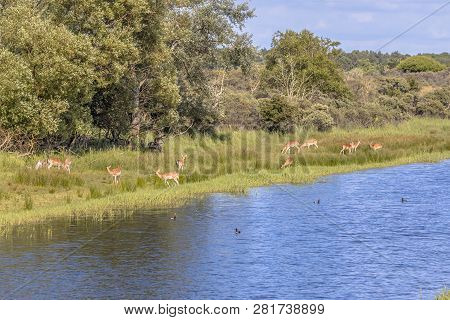 Fallow Deer (dama Dama) Grazing On River Bank In Amsterdamse Waterleidingduinen Nature Reserve In Th