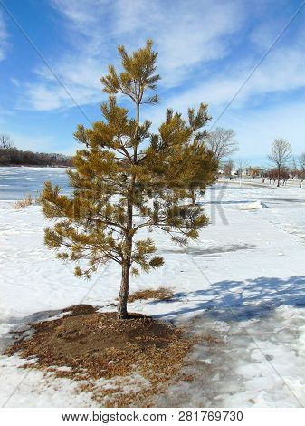 A Lone Young Pine Sapling Tree Growing On The Prairie During The Winter.