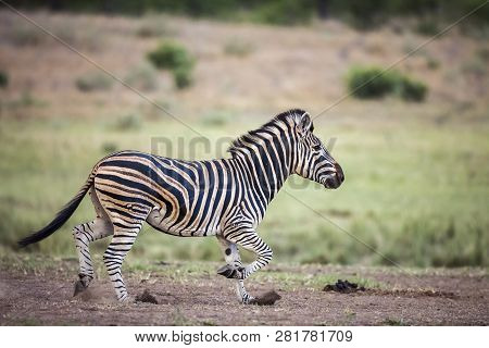 Plains Zebra Running In Kruger National Park, South Africa ; Specie Equus Quagga Burchellii Family O