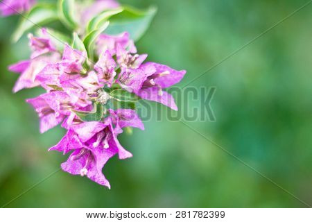 Bougainvillea flowers texture and background. Purple flowers of bougainvillea tree. Close up view of bougainvillea purple flower. Colorful purple flowers texture and background for designers. poster