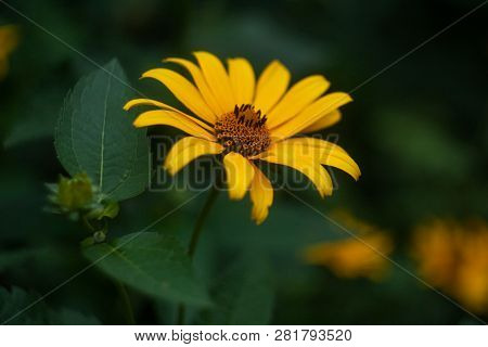 Yellow Daisy Close-up Floral On Green Background.  For Celebration Decoration Design. Floral Design.