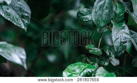 Wet Green Wet Leaves On Dark Background