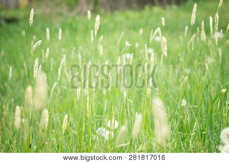 Spikelets Of Green Grass . Spring Field Of Green Grass . Grass Seeds . Lawn Grass