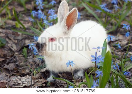 White Fluffy Bunny In The Meadow Of Blue Flowers.a Small Decorative Rabbit Goes On Green Grass Outdo