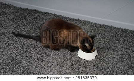 Siamese Cat Eating Pet Food From Feeding Bowl